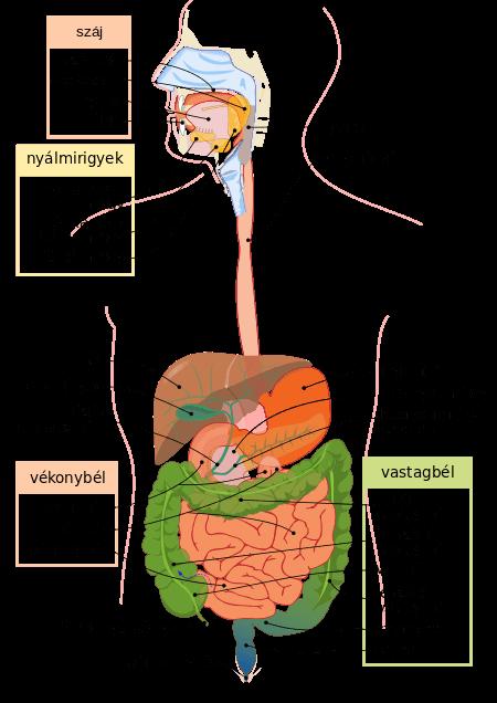 Az emésztőrendszer felépítése